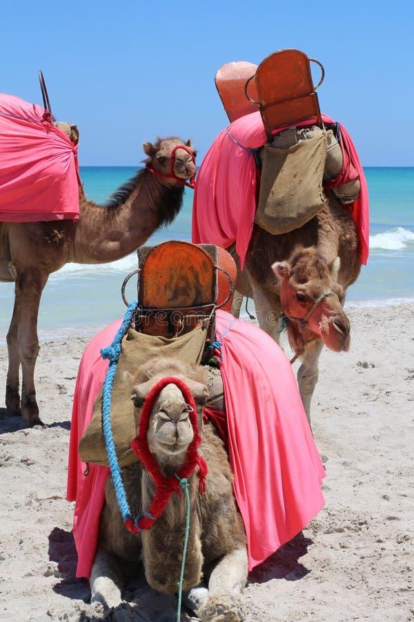 Τρεις καμήλες στο υπόβαθρο της θάλασσας στοκ εικόνα