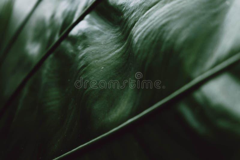 Τροπικό γιγαντιαίο taro σκούρο πράσινο υπόβαθρο φύσης έννοιας σύστασης φύλλων στοκ εικόνες με δικαίωμα ελεύθερης χρήσης
