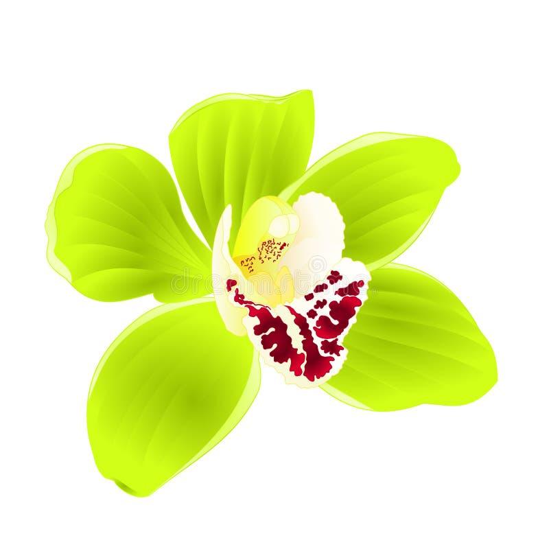 Τροπικό πράσινο λουλούδι Cymbidium ορχιδεών ρεαλιστικό στην άσπρη εκλεκτής ποιότητας διανυσματική απεικόνιση υποβάθρου editable διανυσματική απεικόνιση