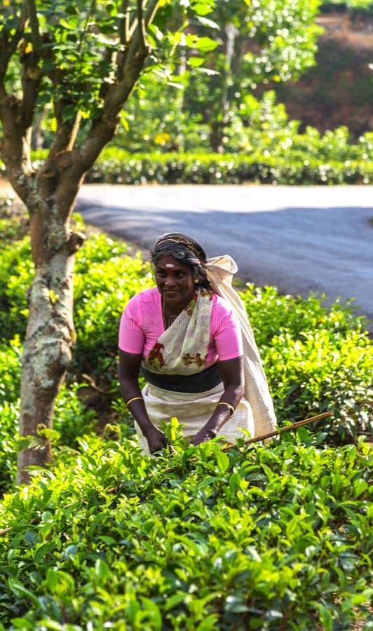 Τσάι γυναικών που επιλέγει συλλέγοντας με το χέρι τα φύλλα τσαγιού Συλλεκτικές μηχανές τσαγιού στους λόφους της Σρι Λάνκα στοκ εικόνα