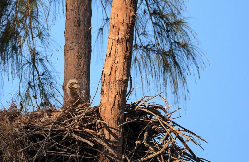 Φαλακρό leucocephalus Haliaeetus eaglet σε μια φωλιά στο νησί του Marco στοκ φωτογραφίες με δικαίωμα ελεύθερης χρήσης