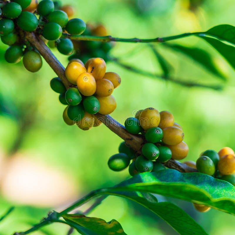 Φασόλια καφέ στο δέντρο στο βουνό στο αγρόκτημα στοκ φωτογραφίες με δικαίωμα ελεύθερης χρήσης