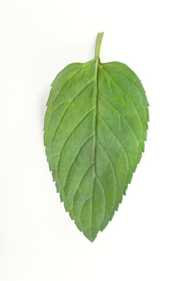 Φρέσκο φύλλο φυτών μεντών ακατέργαστο που απομονώνεται στο άσπρο υπόβαθρο στοκ εικόνες