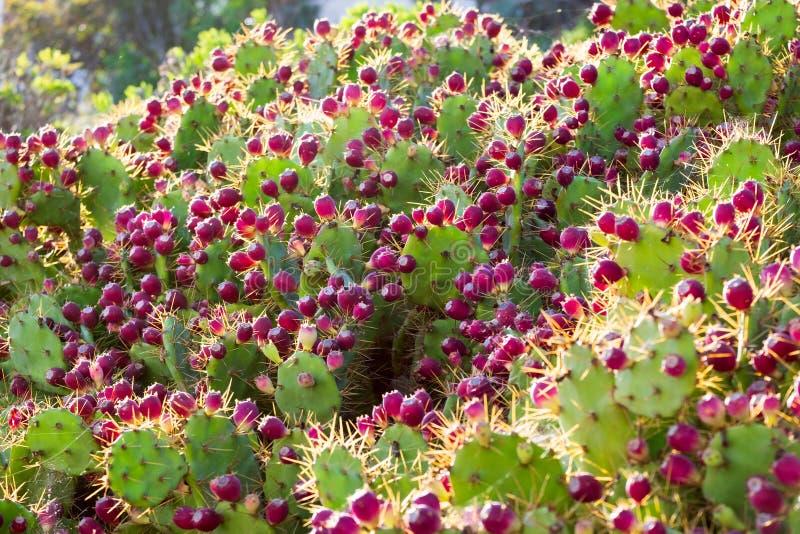 Φρούτα τραχιών αχλαδιών στον ήλιο στοκ εικόνες