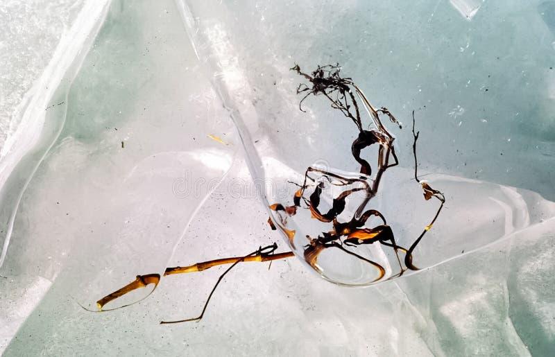 Φύκι που παγώνει στον πάγο στοκ φωτογραφίες με δικαίωμα ελεύθερης χρήσης