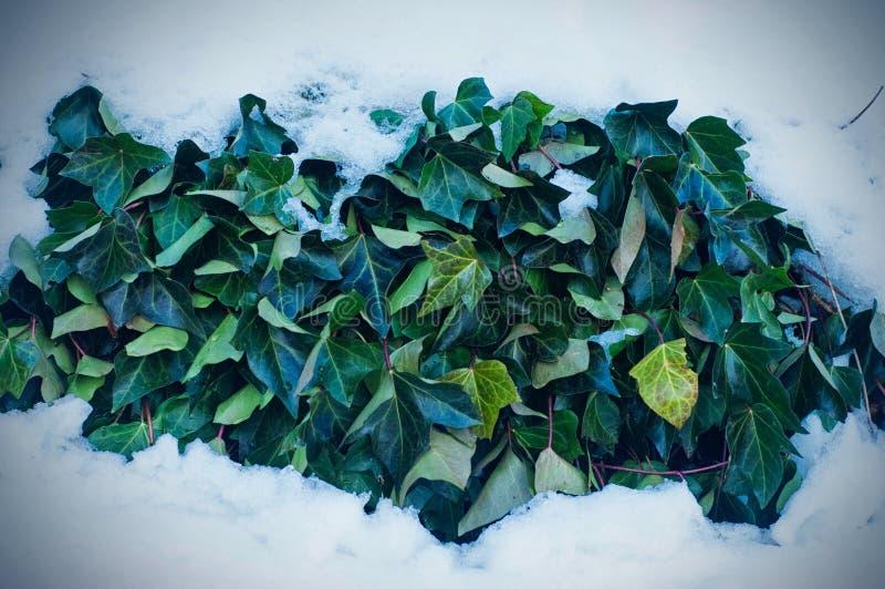 Φύλλα κισσών κάτω από το χιόνι στοκ εικόνα