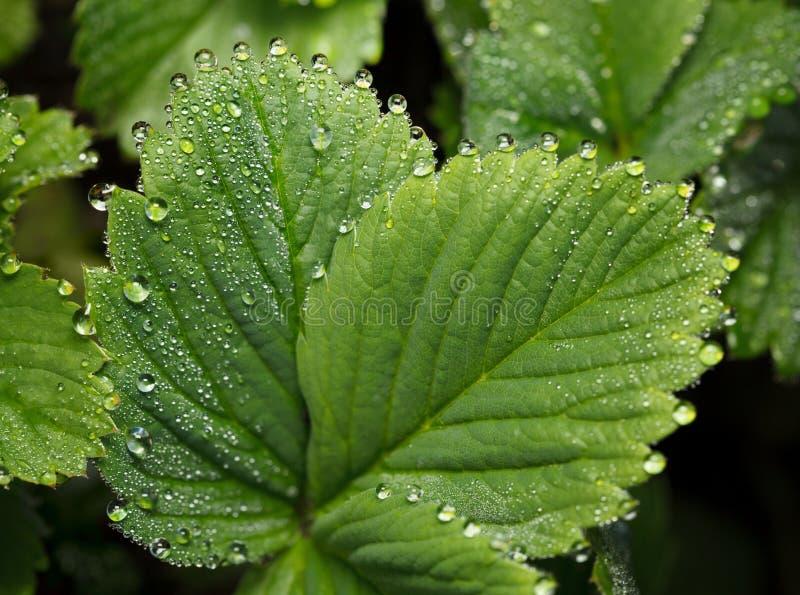 Φύλλα φραουλών που καλύπτονται από τις πτώσεις νερού στοκ φωτογραφία με δικαίωμα ελεύθερης χρήσης