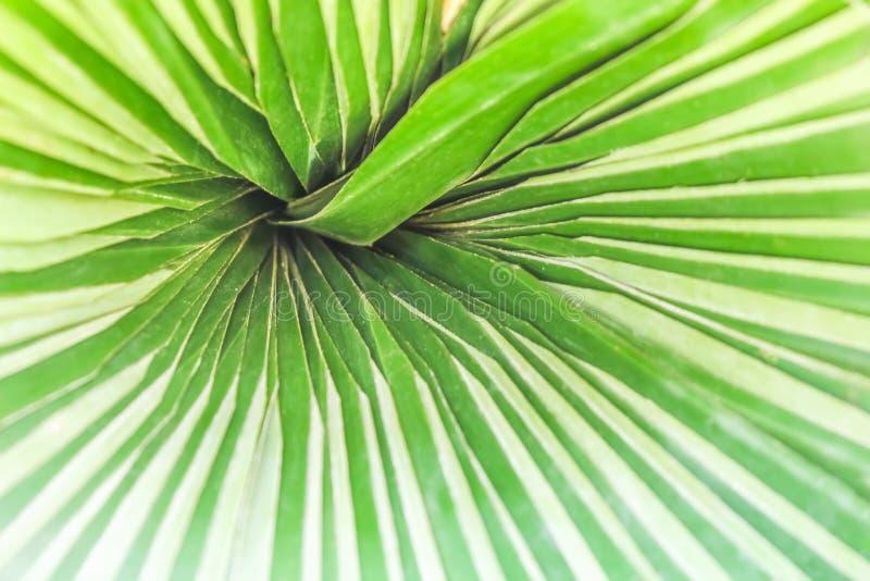 Φύση σχεδίων της ζωηρόχρωμης σύστασης φύλλων μπανανών με την αντανάκλαση από τον ήλιο για το υπόβαθρο στοκ εικόνες
