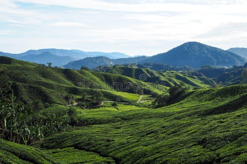 Φυσική άποψη της φυτείας τσαγιού στοκ εικόνες