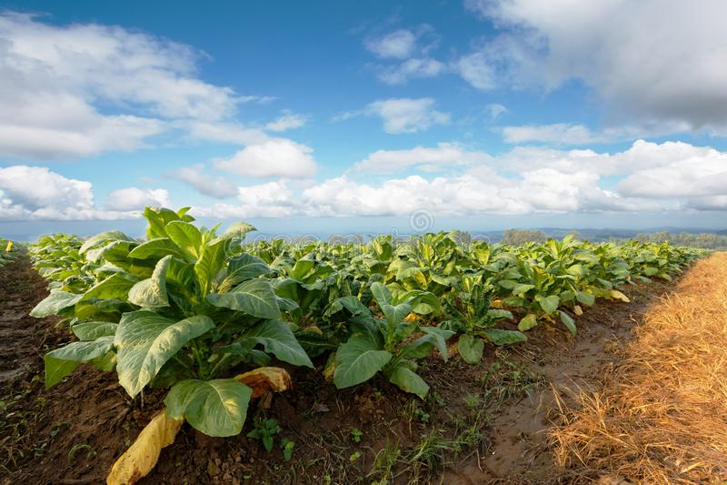 Φυτεία καπνών στο καλλιεργήσιμο έδαφος και ανάπτυξη για το γίνοντα πούρο και το τσιγάρο στοκ φωτογραφία με δικαίωμα ελεύθερης χρήσης