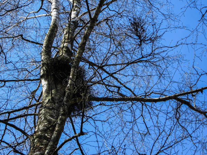 Φωλιές των πουλιών από τους κλαδίσκους στους κλάδους δέντρων στοκ φωτογραφίες