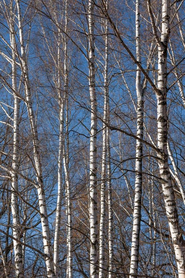 Φωτεινοί άσπροι κορμοί των σημύδων ενάντια στο μπλε ουρανό Το φθινόπωρο, φύλλα πέταξε γύρω στοκ εικόνες