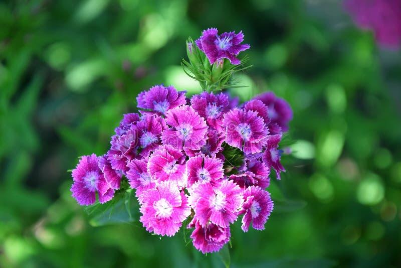Φωτογραφία αποθεμάτων φύτευσης κήπων λουλουδιών Barbatus Dianthus στοκ εικόνες