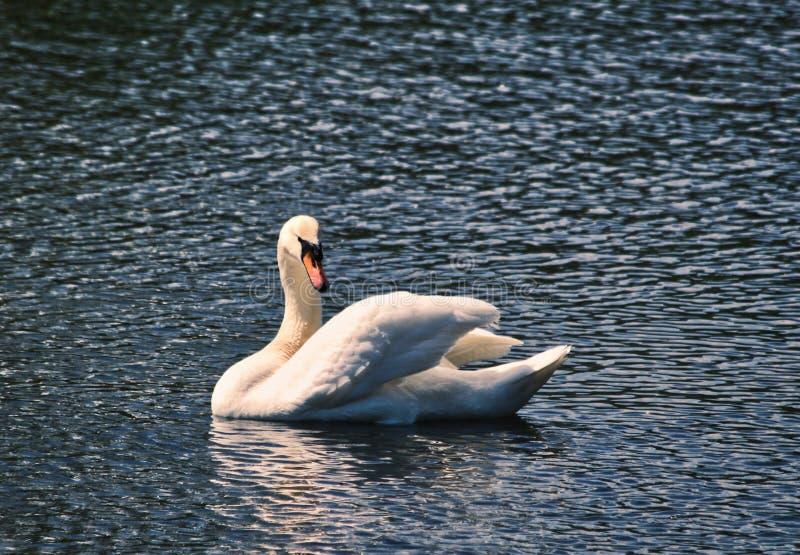 Φωτογραφία ενός όμορφου άσπρου κύκνου που κολυμπά στη λίμνη κοντά επάνω στοκ εικόνες