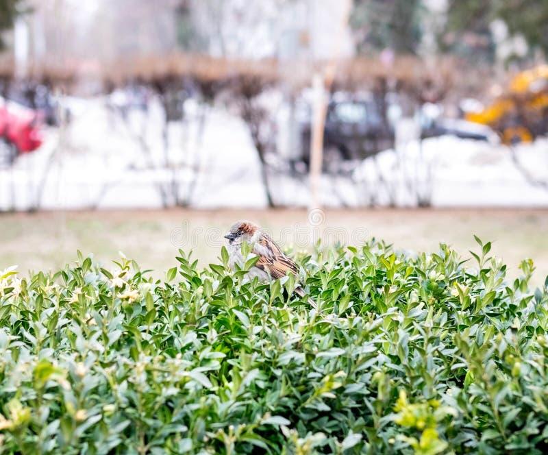 Φωτογραφία ενός σπουργιτιού σε έναν θάμνο στο πάρκο Μοναξιά στο πάρκο Πουλί στο πάρκο στοκ εικόνα