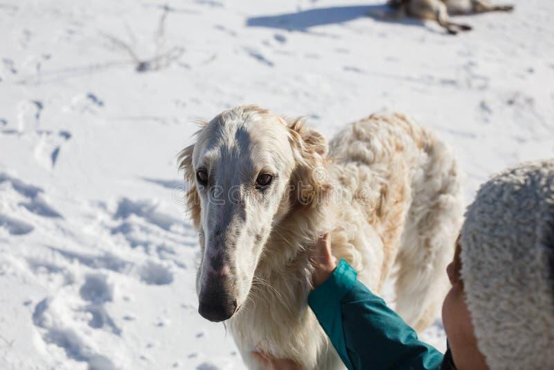Χέρια γυναικών που κτυπούν άσπρο greyhound κυνηγόσκυλων Χειμώνας νέο έτος στοκ φωτογραφία με δικαίωμα ελεύθερης χρήσης