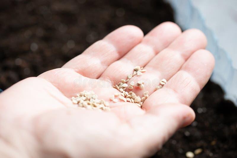 Χέρι με τους σπόρους για τη φύτευση των σποροφύτων εγκαταστάσεις λαχανικών εγκαταστάσεων αγροτών Εσωτερική ζωή στοκ φωτογραφίες