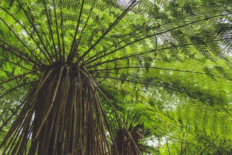 Χαμηλή άποψη γωνίας της φτέρης δέντρων στο τροπικό δάσος στη Νέα Ζηλανδία, νότιο νησί στοκ φωτογραφία