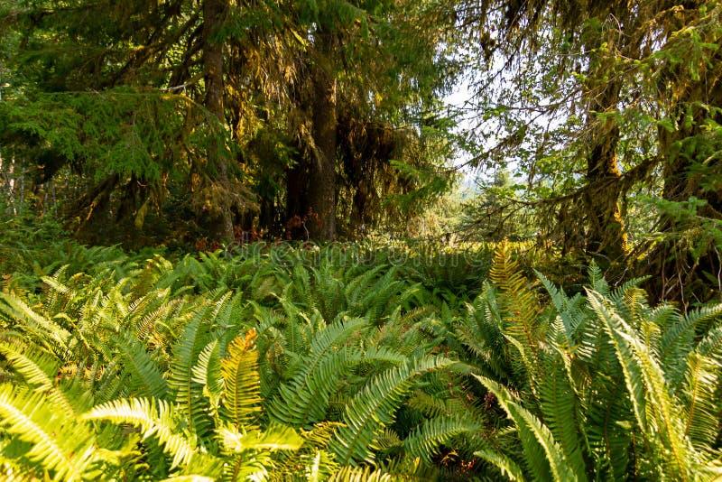 Χαμόκλαδο φτερών κάτω από το ειρηνικό βορειοδυτικό δάσος το καλοκαίρι στοκ φωτογραφία με δικαίωμα ελεύθερης χρήσης