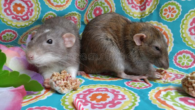 Χαριτωμένοι αρουραίοι κατοικίδιων ζώων που τρώνε τα πρόχειρα φαγητά σε ένα κόμμα στοκ εικόνες