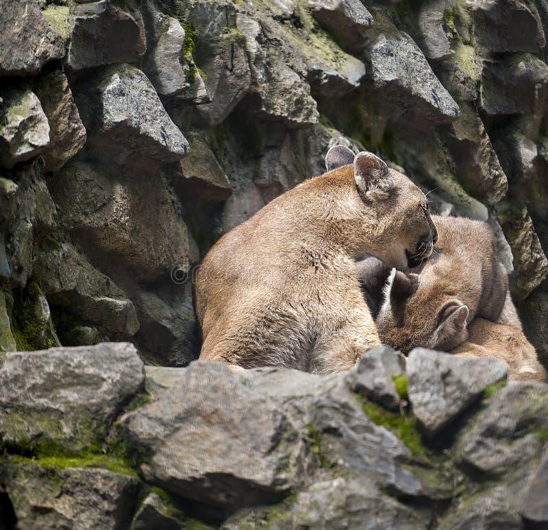 Χαριτωμένο concolor Puma λιονταρινών βουνών επίσης συνήθως γνωστό ως cougar, λιοντάρι βουνών, πάνθηρα, ή catamount και γατάκι στοκ εικόνες