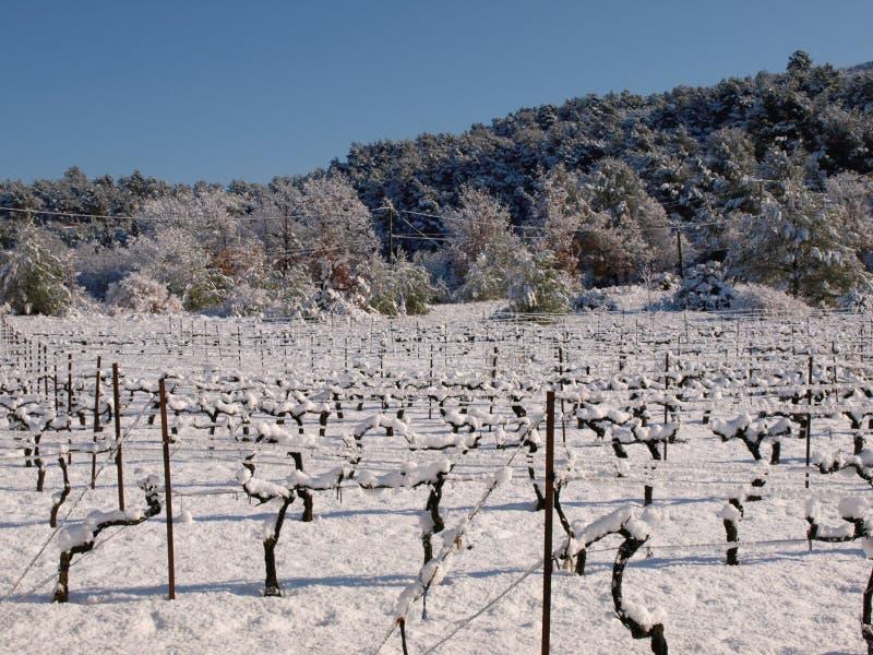 Χιονισμένες άμπελοι σταφυλιών σε έναν αμπελώνα στην Προβηγκία Γαλλία στοκ εικόνες