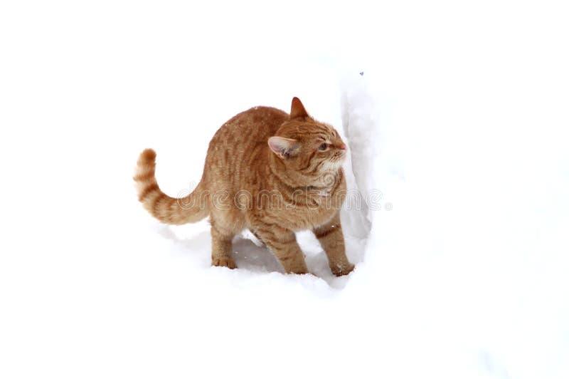 Χιόνι ρουθουνίσματος γατακιών πιπεροριζών στοκ εικόνες με δικαίωμα ελεύθερης χρήσης