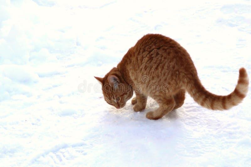 Χιόνι ρουθουνίσματος γατακιών πιπεροριζών στοκ εικόνες
