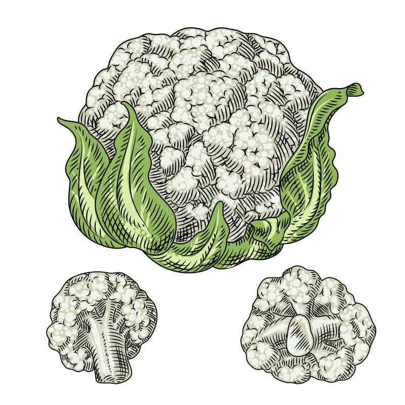 χρήσιμα λαχανικά Κουνουπίδι σε μια άσπρη ανασκόπηση Λεπτομερές σχέδιο με το χέρι διανυσματική απεικόνιση