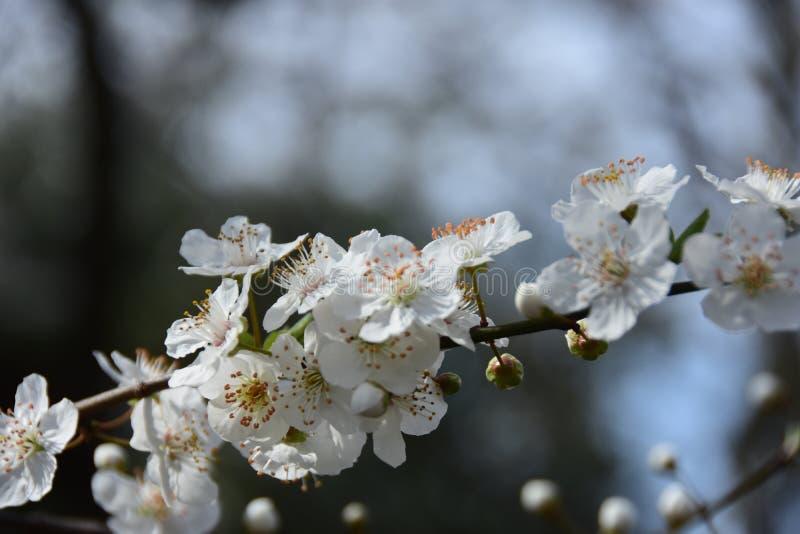 Χρόνος δέντρων άνθισης Apple την άνοιξη στοκ εικόνες