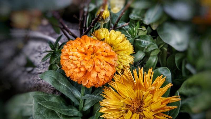 Χρυσά λουλούδια officinalis Calendula στον κήπο στοκ εικόνα