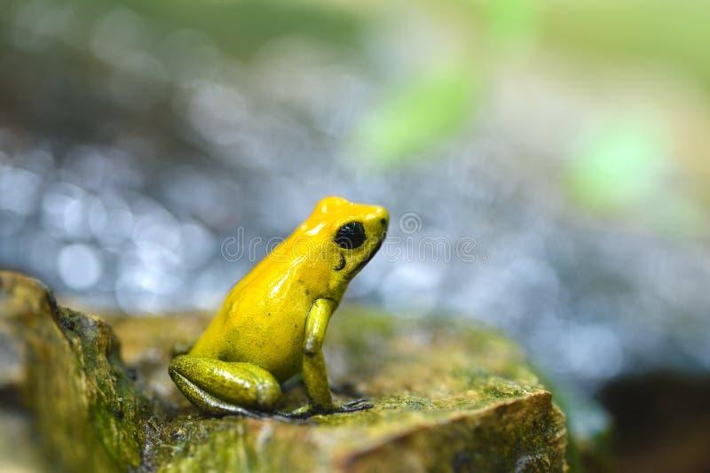Χρυσά terribilis Phyllobates βατράχων βελών δηλητήριων στο τροπικό δάσος στοκ φωτογραφίες