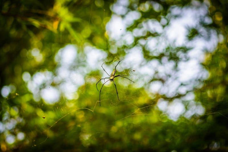 Χρυσός υφαντής Nephila σφαιρών μεταξιού ή γιγαντιαίες ξύλινες αράχνες, ή αράχνες μπανανών Μεγάλη ζωηρόχρωμη αράχνη στον Ιστό του  στοκ φωτογραφία