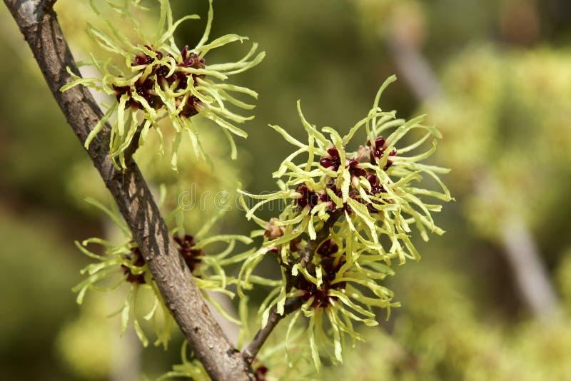 Χρωματισμένο λεμόνι λουλούδι φουντουκιών μαγισσών την πρώιμη άνοιξη στοκ φωτογραφίες