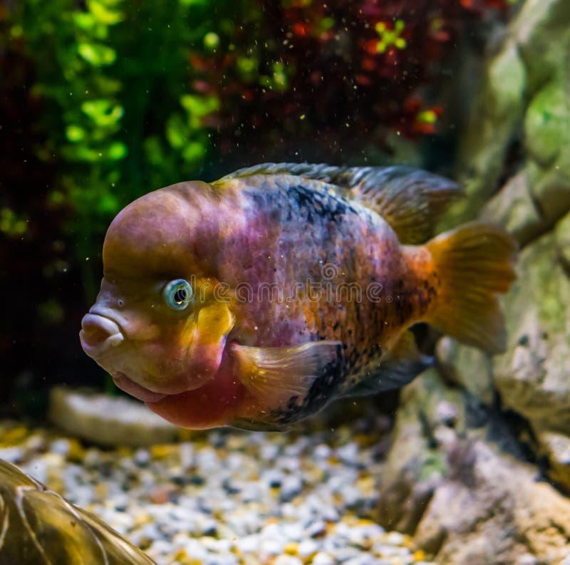 Υβρίδιο Flowerhorn cichlid, μεταλλαγή χρώματος, δημοφιλές κατοικίδιο ζώο στην υδατοκαλλιέργεια, γενετικός χειρισμός στοκ εικόνα με δικαίωμα ελεύθερης χρήσης