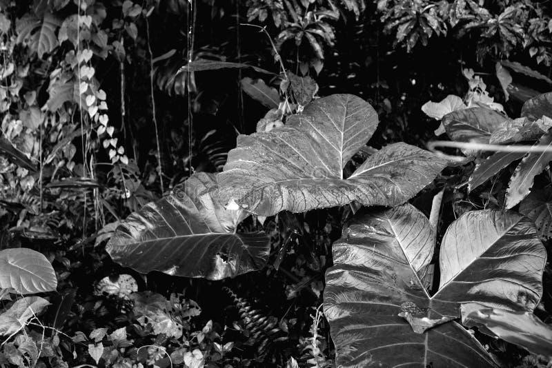 Υγρά φύλλα ζουγκλών μετά από τη βροχή στη γραπτή εικόνα στοκ εικόνα
