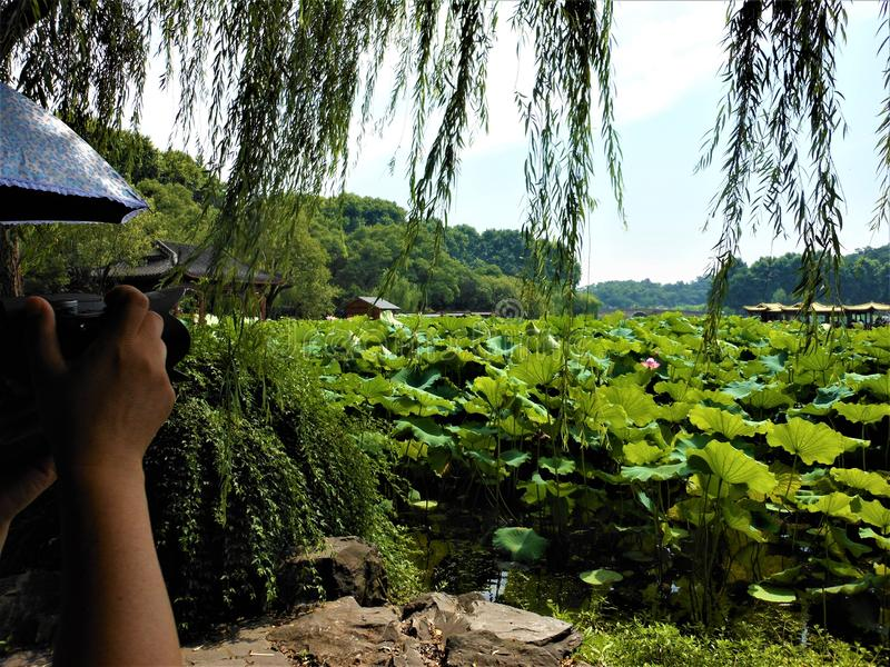Πάρτε μια εικόνα! Λουλούδι Lotus, ιτιά και κινεζική άποψη στοκ εικόνες με δικαίωμα ελεύθερης χρήσης