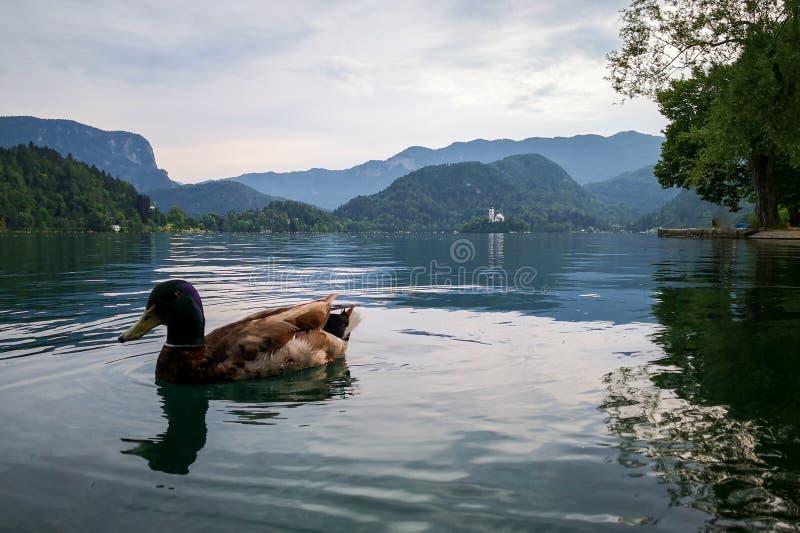 Πάπιες πέρα από την ήρεμη αιμορραγημένη λίμνη στοκ φωτογραφία με δικαίωμα ελεύθερης χρήσης