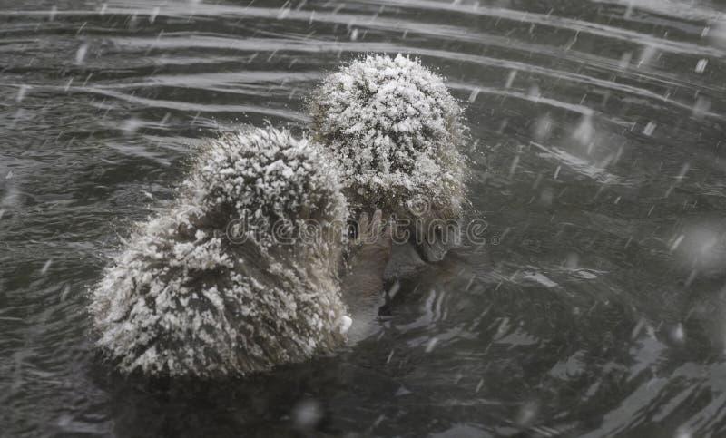 Πίθηκοι χιονιού που κάθονται την καυτή άνοιξη που παίρνει την προσοχή μεταξύ τους στοκ φωτογραφίες με δικαίωμα ελεύθερης χρήσης