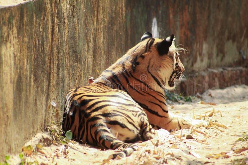Πίσω πλευρά ενός ύπνου τιγρών στοκ φωτογραφία με δικαίωμα ελεύθερης χρήσης