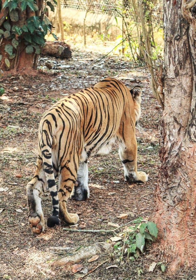 Πίσω πλευρά της τίγρης τίγρεων στοκ εικόνες