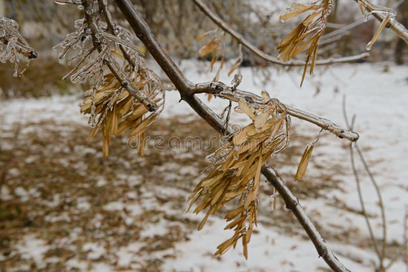 Παγωμένος κλάδος δέντρων με τα φύλλα μετά από τη βροχή παγώματος στοκ εικόνα με δικαίωμα ελεύθερης χρήσης