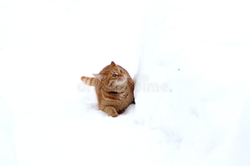 Παιχνίδι γατακιών πιπεροριζών στο χιόνι στοκ εικόνα με δικαίωμα ελεύθερης χρήσης