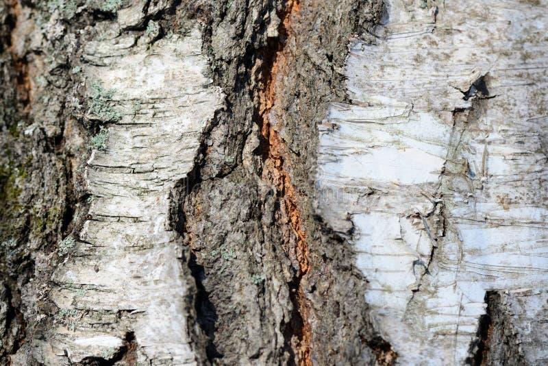 Παλαιά σύσταση φλοιών δέντρων σημύδων ως υπόβαθρο στοκ εικόνα με δικαίωμα ελεύθερης χρήσης