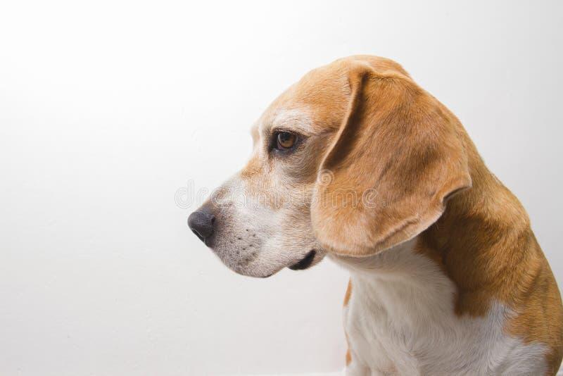 Παλαιό σκυλί φυλής λαγωνικών στοκ εικόνες