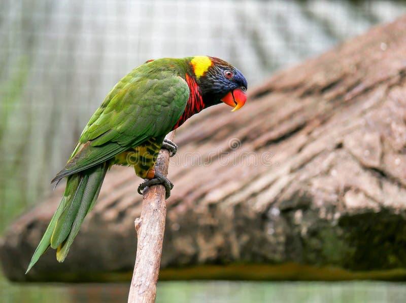 Παπαγάλος, πάρκο πουλιών της Κουάλα Λουμπούρ στοκ φωτογραφία