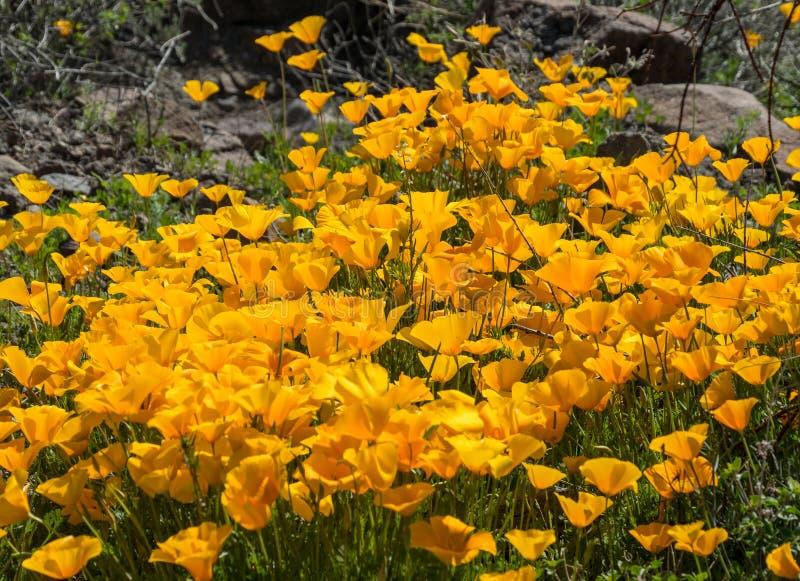 Παπαρούνες Καλιφόρνιας, wildflowers ανοίξεων στην έρημο στοκ φωτογραφία
