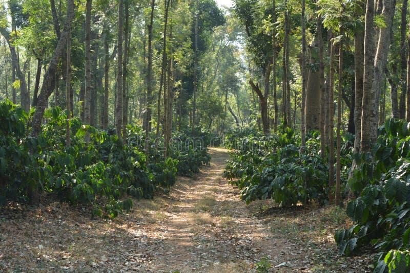 Περίπατος/πορεία/περίπατος μέσα στο δάσος/τα ξύλα/το plantattion/το κτήμα καφέ στοκ εικόνα