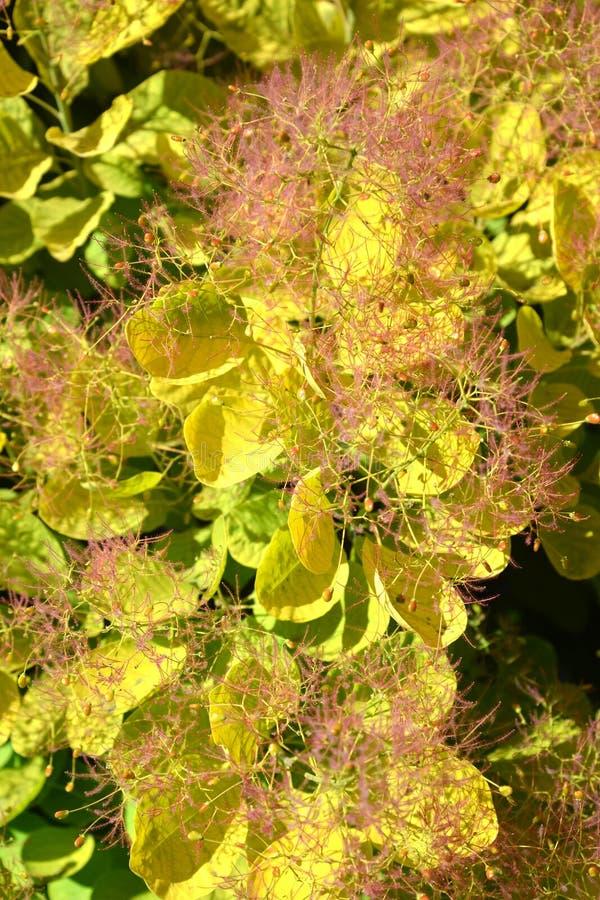 Περούκα-δέντρο ένας βαθμός το χρυσό coggygria Scop Cotinus πνευμάτων Χρυσό πνεύμα Υπόβαθρο στοκ εικόνα με δικαίωμα ελεύθερης χρήσης
