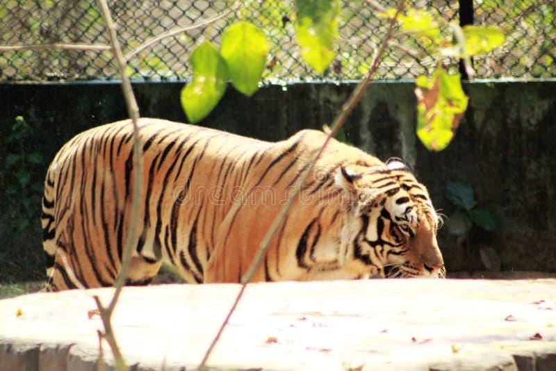 Πλάγια όψη του Τίγρη τιγρών κοντά σε έναν τοίχο στοκ εικόνες με δικαίωμα ελεύθερης χρήσης